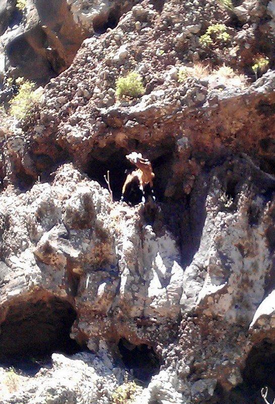 Bergziege in der Barranco de Argaga