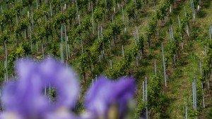 Landvergnügen - Biologischer Weinanbau in Weinstadt Beutelsbach
