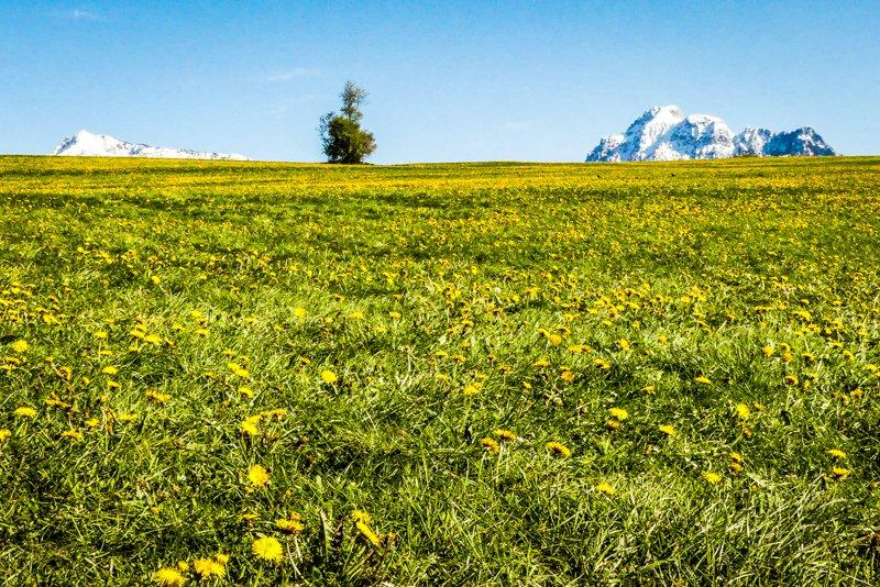 Allgäu rund um Füssen - Butterblumen und Bergipfel