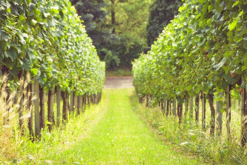 Weinwanderweg in Stuttgart - Blick durch die Weinreben am Württemberg