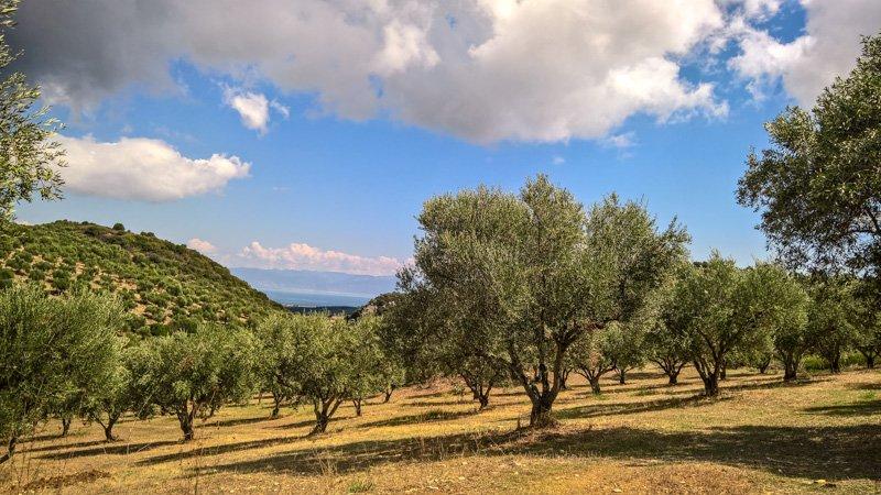Unter griechischer Sonne: der Olivenhain Petrolaka - Taste of Koroni