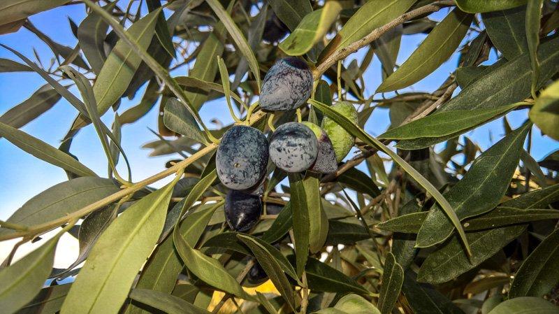 Taste of Koroni - Reifeprozess der Kalomon Olive