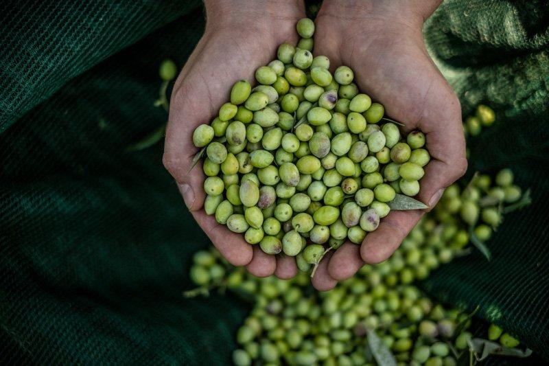 Taste of Koroni - eine Handvoll Koreneiki Oliven
