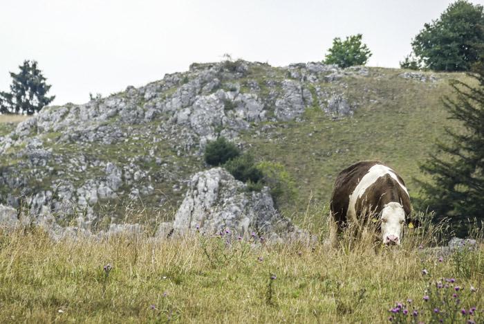Das Eselsburger Tal - die Brenz im Bogen - glückliche Kühe auf der Wiese