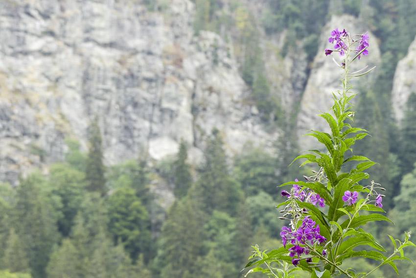 Feldsee am Feldberg - kleine Blütenpracht - 3-Seen-Tour im Hochschwarzwald